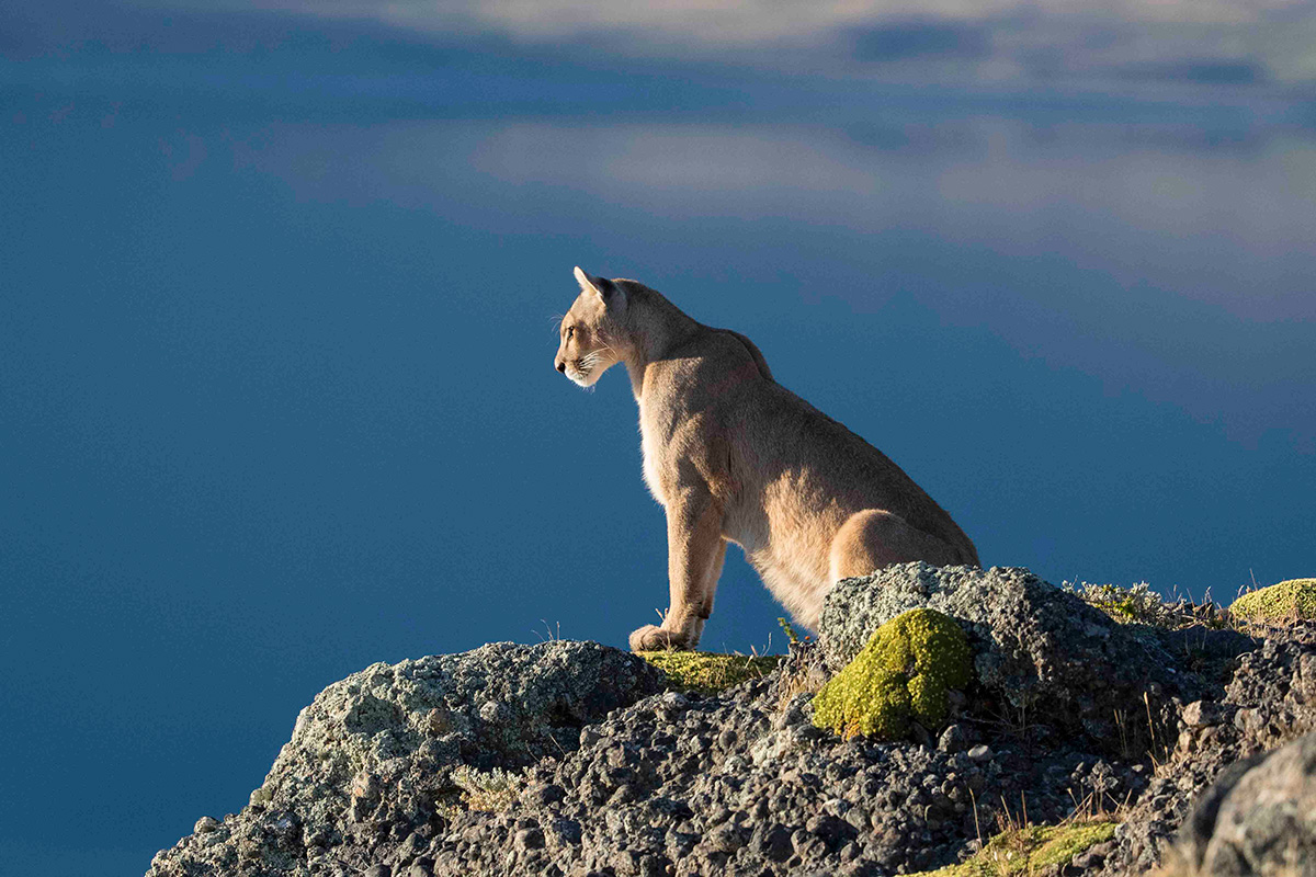 Workshop: Pumas Of Patagonia with Neil Ever Osborne and Jorge Cardenas